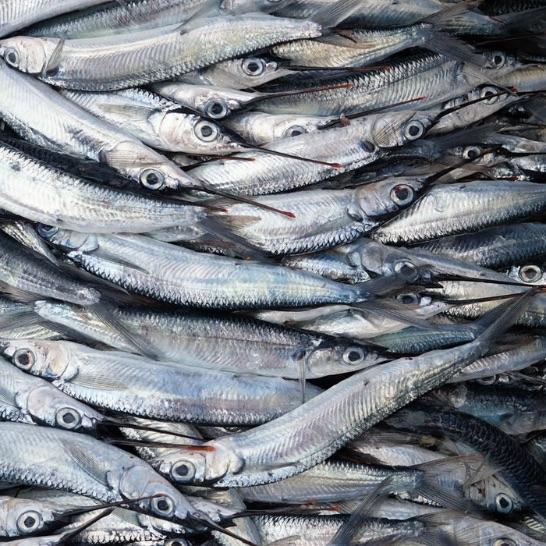 Bistrot du Pecheur - aiguilles de mer